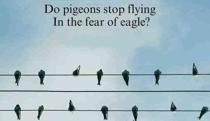 do-pigeons-stop-flying-fear-eagle